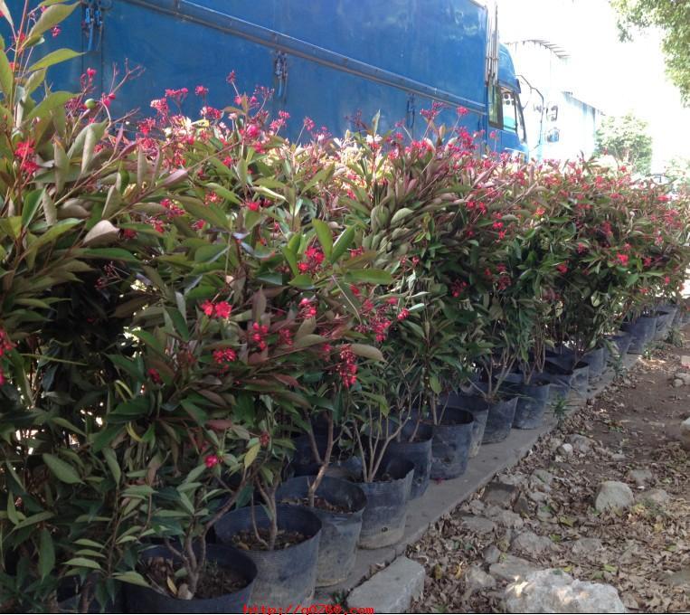 大量供应园林绿化观花地被苗琴叶珊瑚