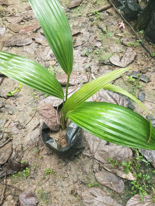 多规格供应盆栽地栽绿化小苗蒲葵小苗