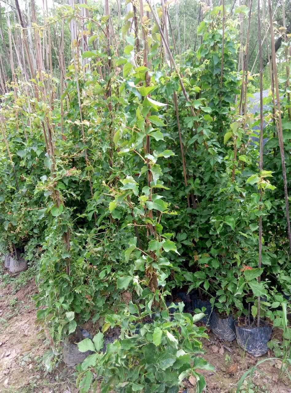 基地供应庭园攀爬植物花卉炮仗花质优价廉
