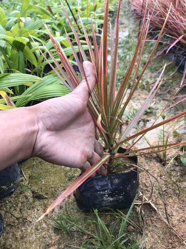 一级净化空气室内盆栽绿植七彩马尾铁
