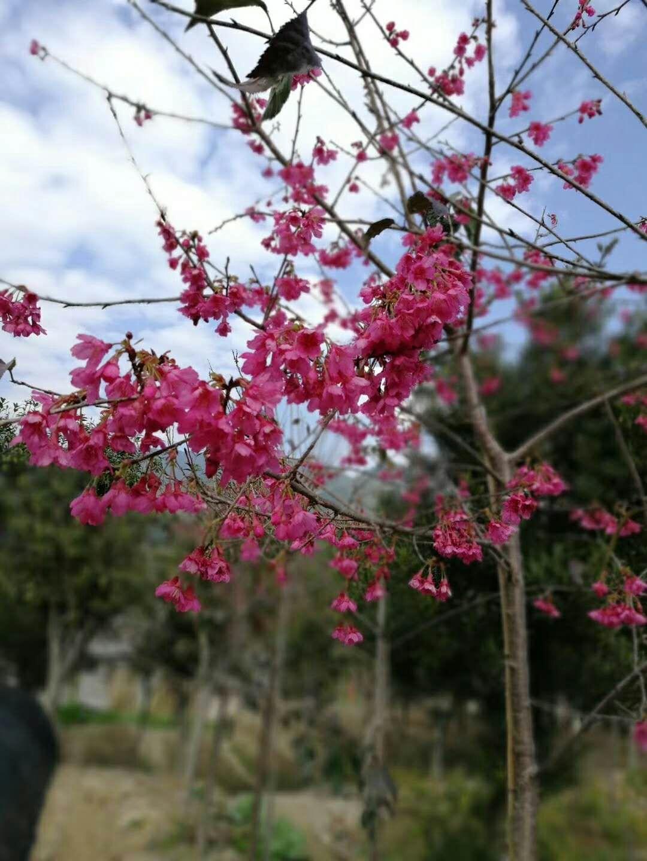 基地批发供应道路庭院绿化树福建山樱花