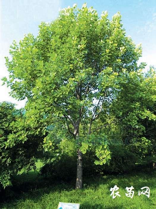 供应桂花树P250-500CM