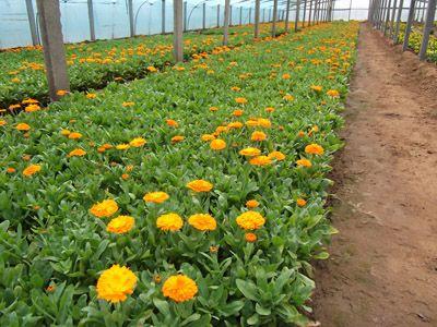 直销供应绿化工程园林用草花金盏菊量大从优