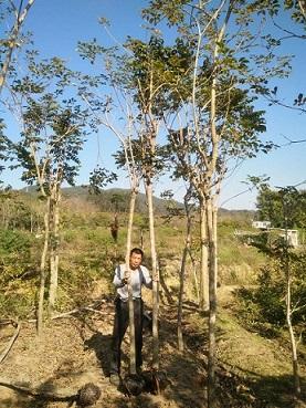 基地直销景观工程树黄花风铃木规格齐全