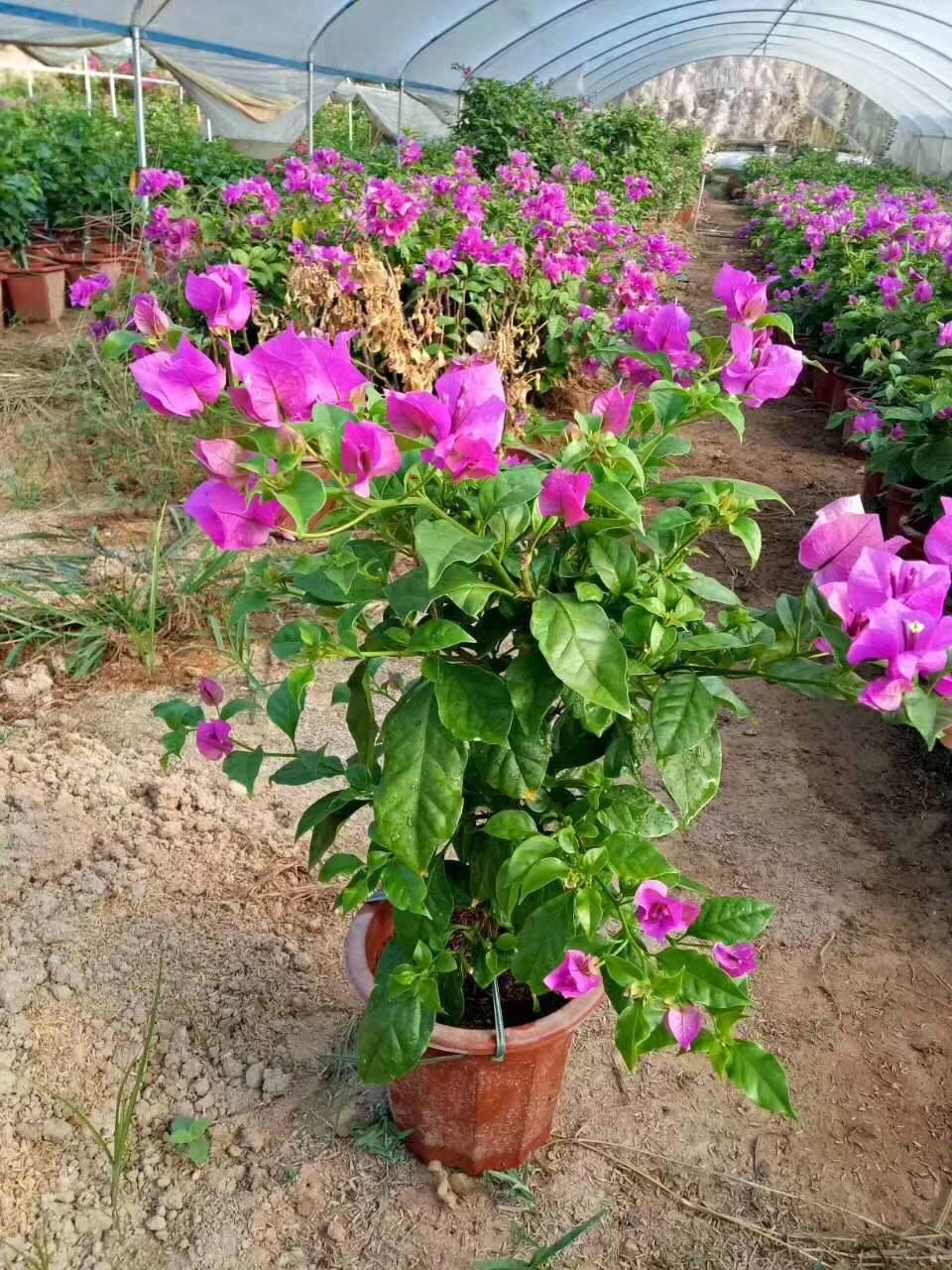 原产地超低价供应多色植物三角梅 物美价廉