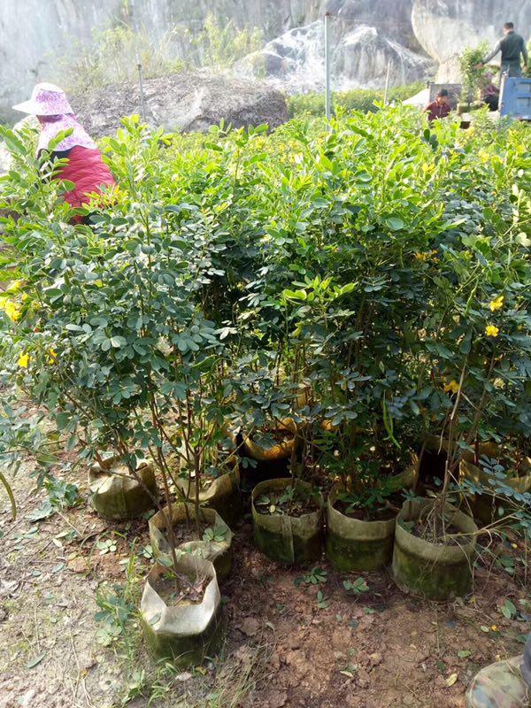 特价供应行道园林造景树黄花双荚槐