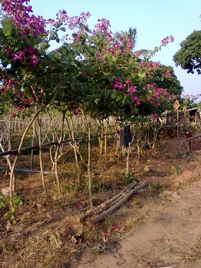 大规模苗木种植基地大量供应观赏红花紫荆