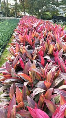 大量销售各种规格常绿灌木亮叶朱焦
