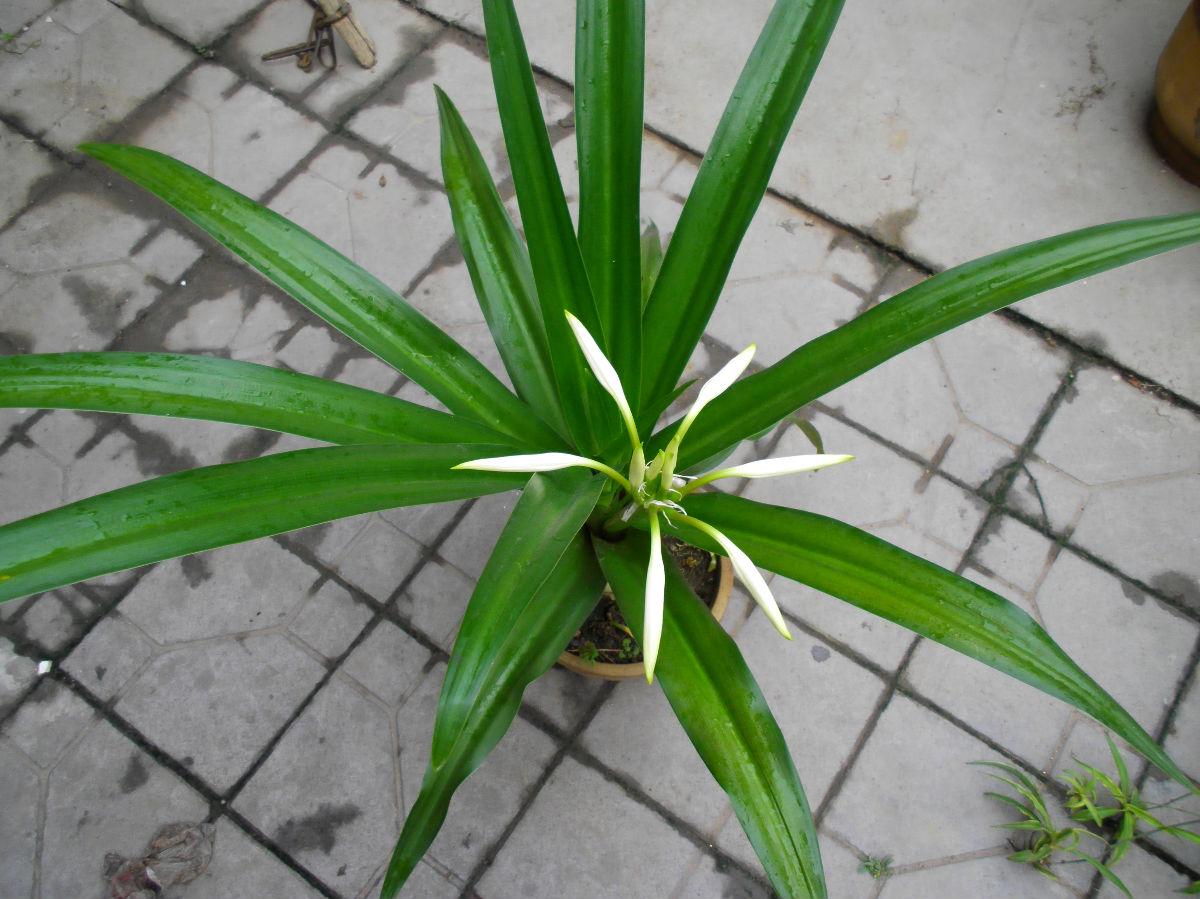 中山苗木种植场供应盆栽赏花绿植文殊兰