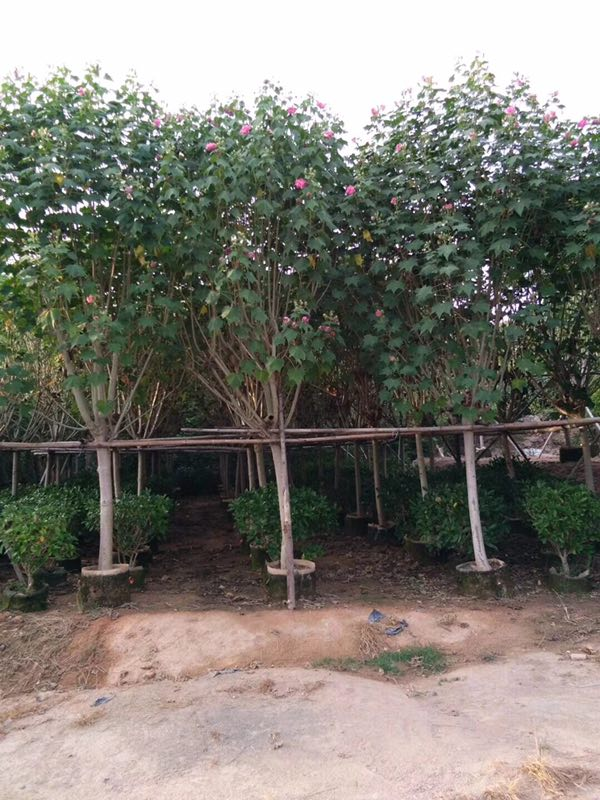 多规格供应园林工程绿化用小乔木木芙蓉
