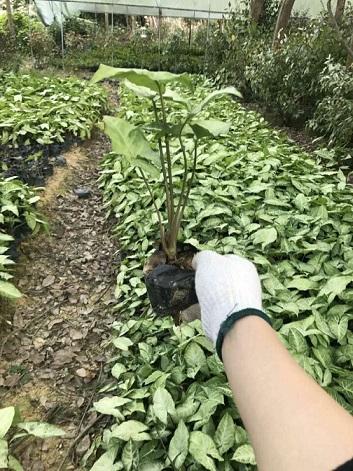 农户直销园林绿化小袋苗合果芋 质优价廉