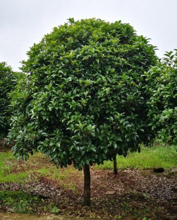 重庆桂花树