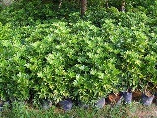 南安市苗木供应基地供应大型绿植盆栽鸭脚木