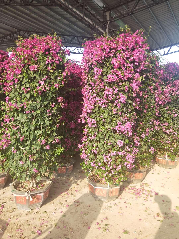 厂家特价供应庭园景观花卉盆栽三角梅柱型