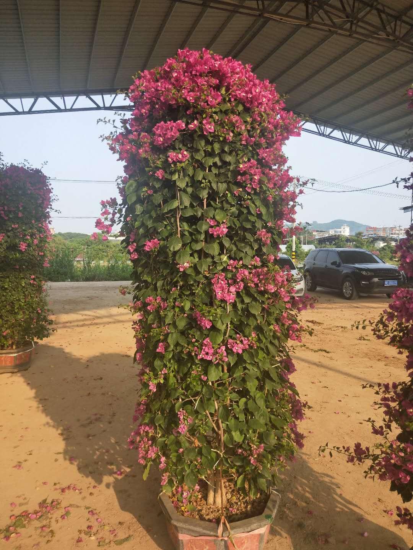 批量供应工程绿化可供观赏花卉三角梅柱型