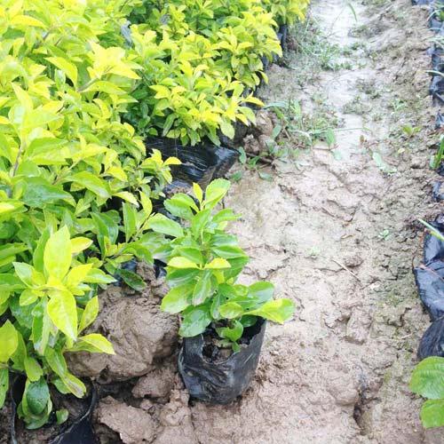 福建苗木基地大量供应优质绿化苗木黄金叶