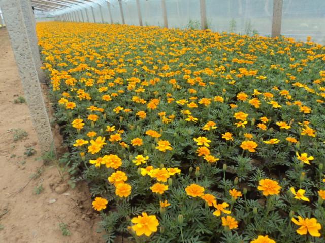 青州苗木供应基地特价供应绿化花卉孔雀草