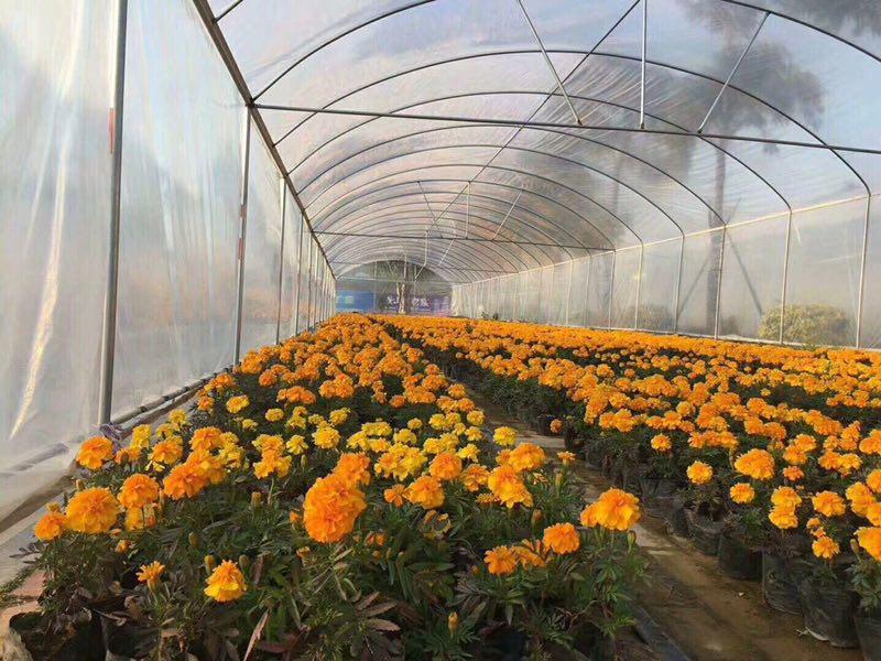 庭园花坛优质盆栽时令草花金盏菊批发供应