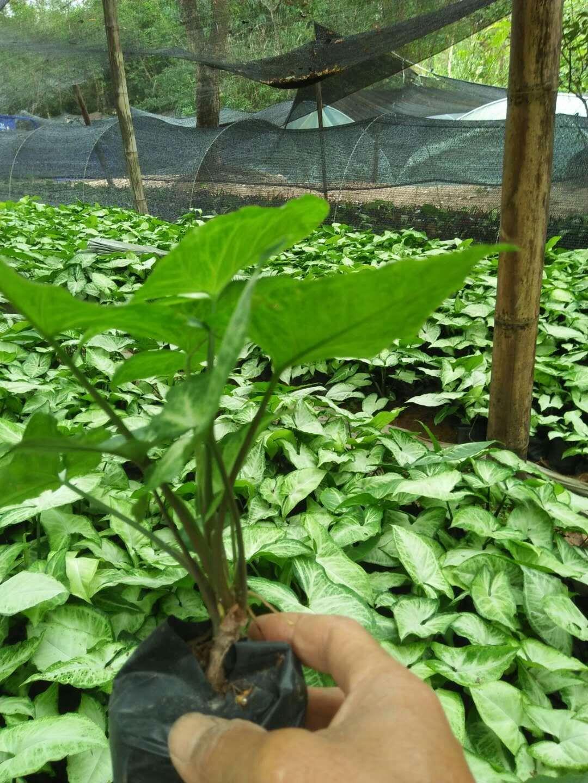 基地直销室内桌面创意观叶植物小盆栽合果芋