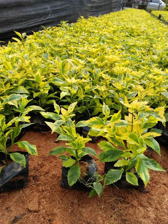 产地直销工程绿化灌木苗金边假连翘物美价廉