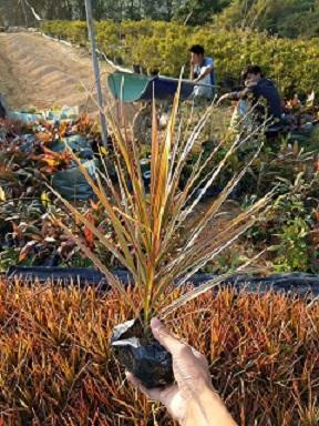 一级净化空气绿化植物七彩马尾铁多规格供应