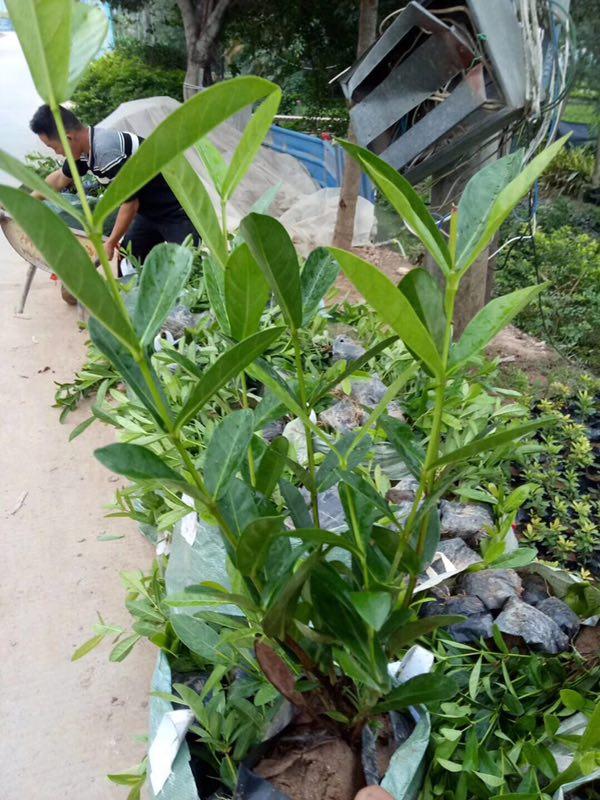 漳州苗木种植基地大量批发供应优质五彩仙丹