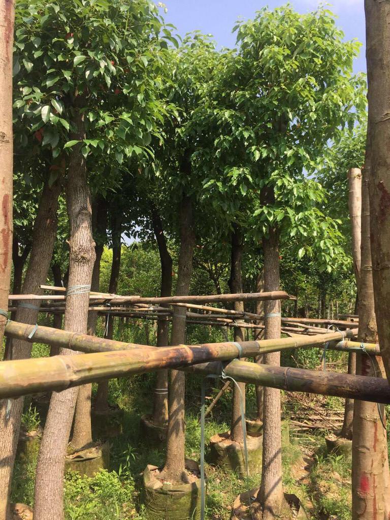直销供应园林行道景观乔木香樟 规格齐全