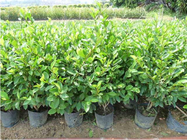 基地直销行道绿化苗木含笑 多规格大量供应