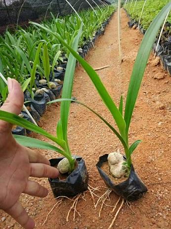 常年大量供应湿地滨海绿化地被植物文殊兰