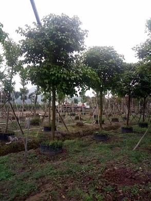 精品园林风景树秋枫常年大量供应