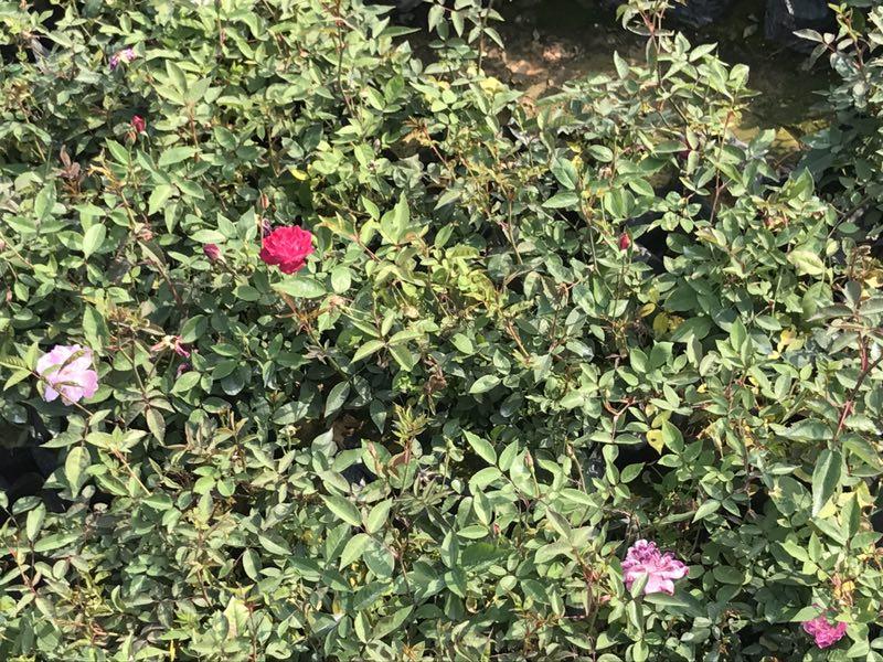 厂家特价供应室内外盆栽绿化植物丰花月季