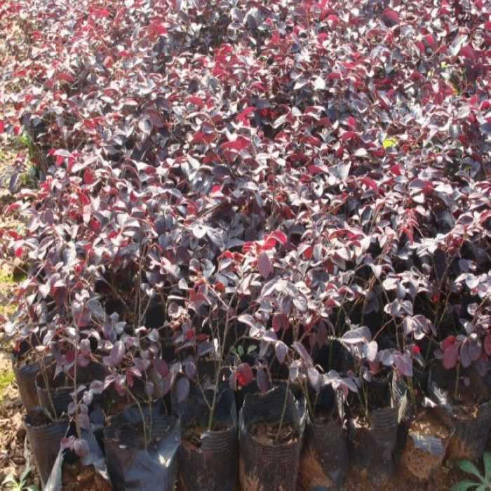 特价供应盆栽绿化小苗红花��木 质优价廉