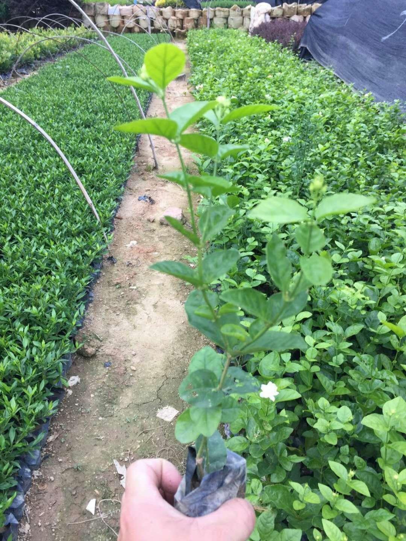 现货供应四季常青园林绿化地被小苗虎头茉莉
