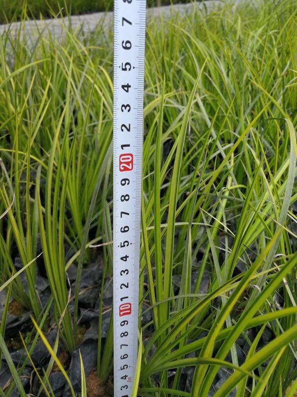 大量批发供应优质地被植物金叶石菖蒲