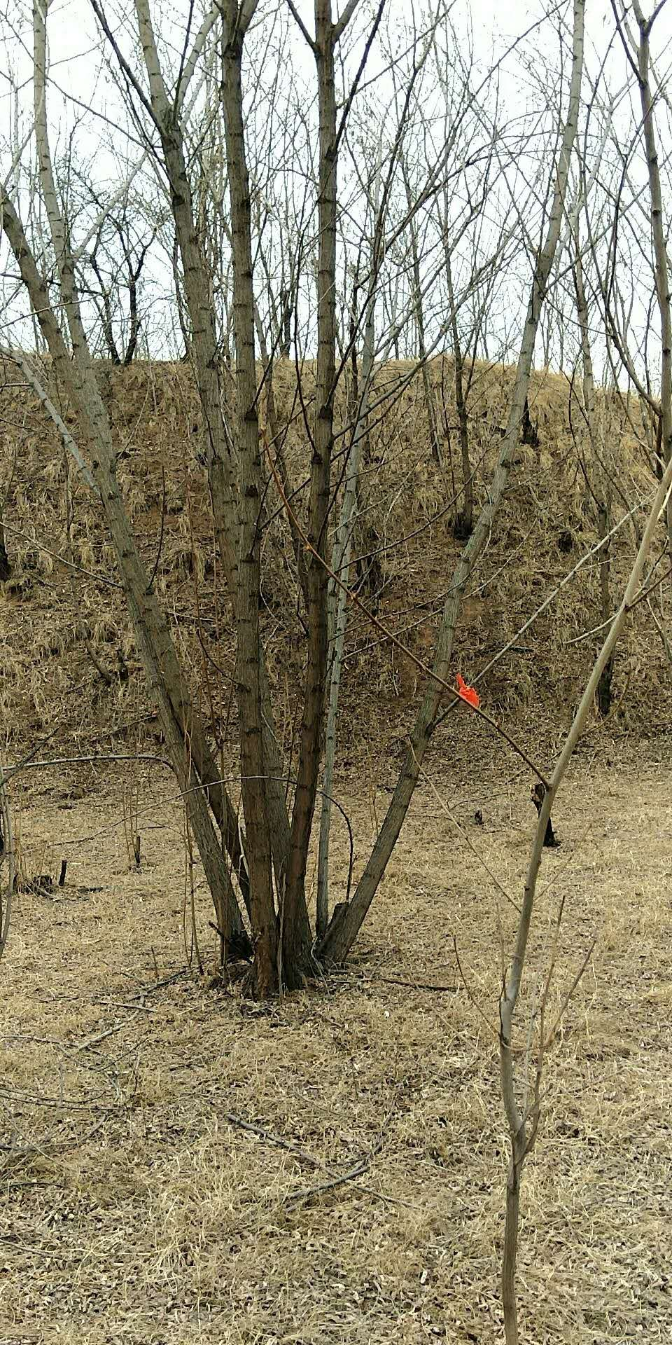 6米丛生刺槐几个分支,6米丛生刺槐什么价格