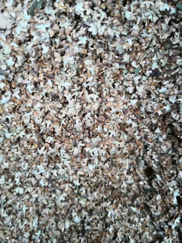 东北白桦种子 多少钱一斤