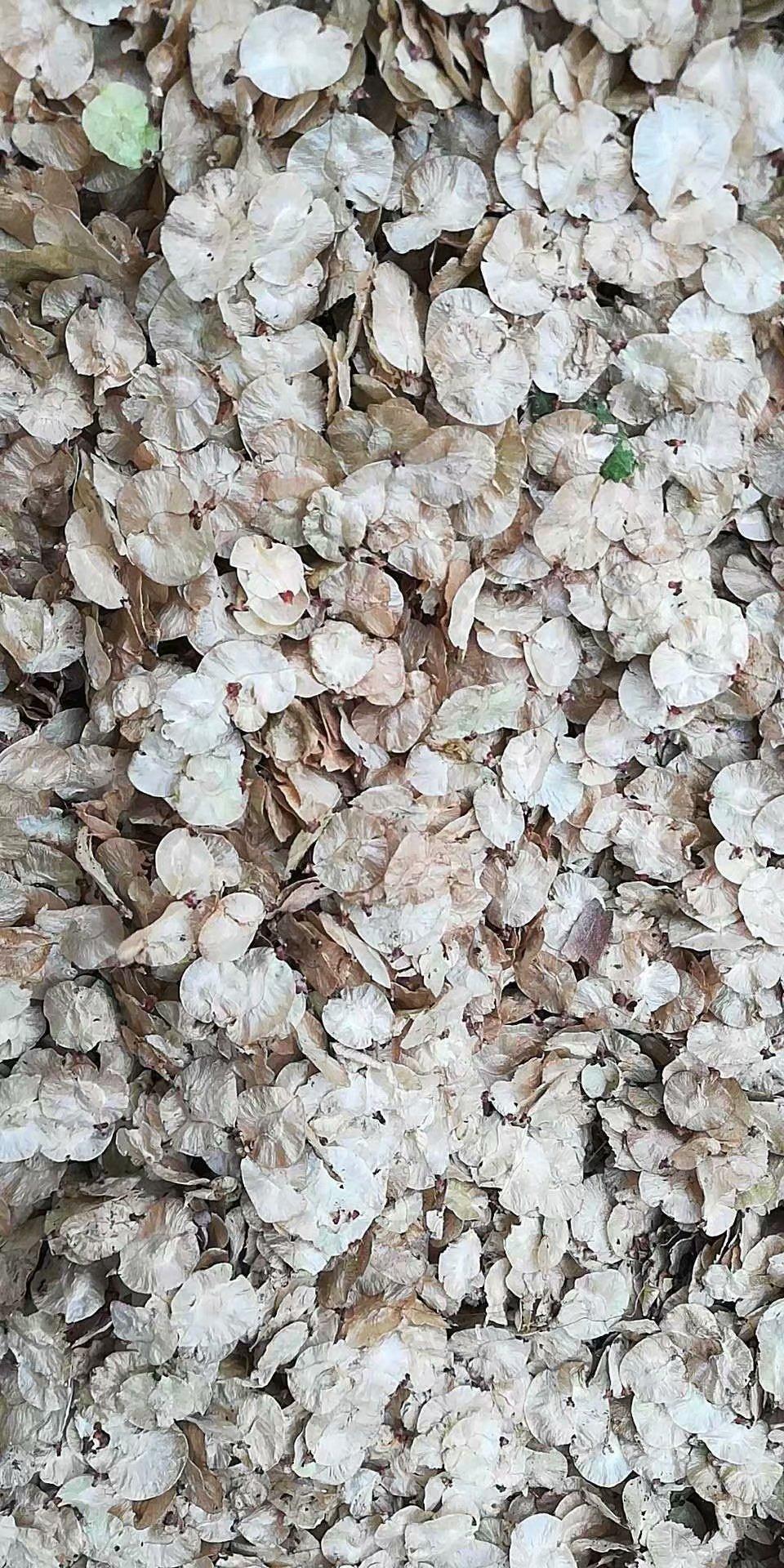 东北 金叶榆种子 产地报价多少钱