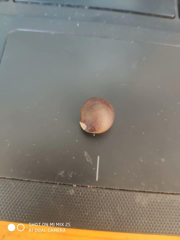今年新�� 文冠果种子 颗粒饱满 发芽率高
