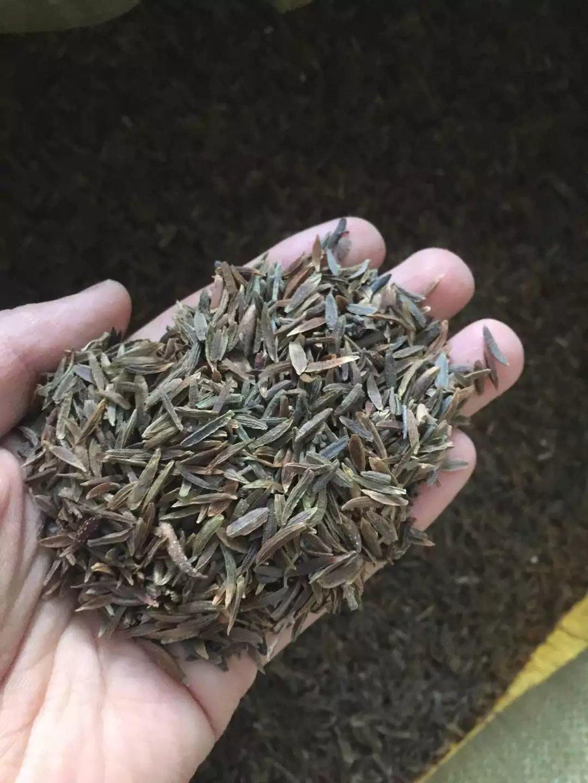 现货供应 小叶丁香种子 厂家直销价格