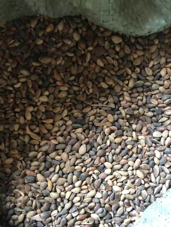 东北 黑松种子 多少钱一斤