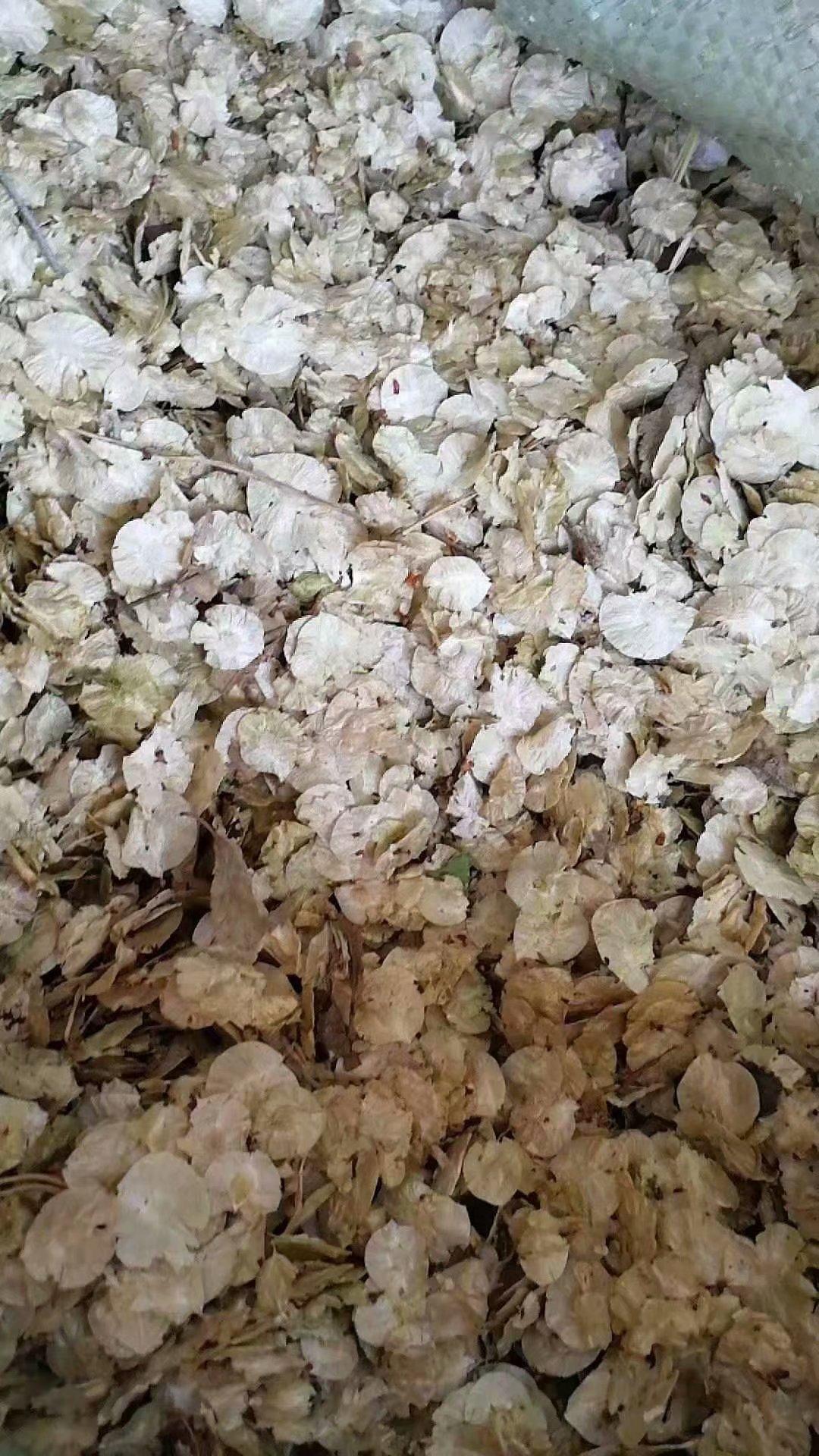 供应 白榆种子 厂家批发价格