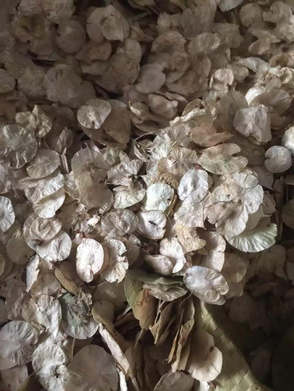 辽宁省 白榆种子 多少钱一斤