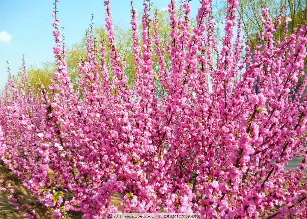 供应 小桃红种子 裂口见芽 发芽率高