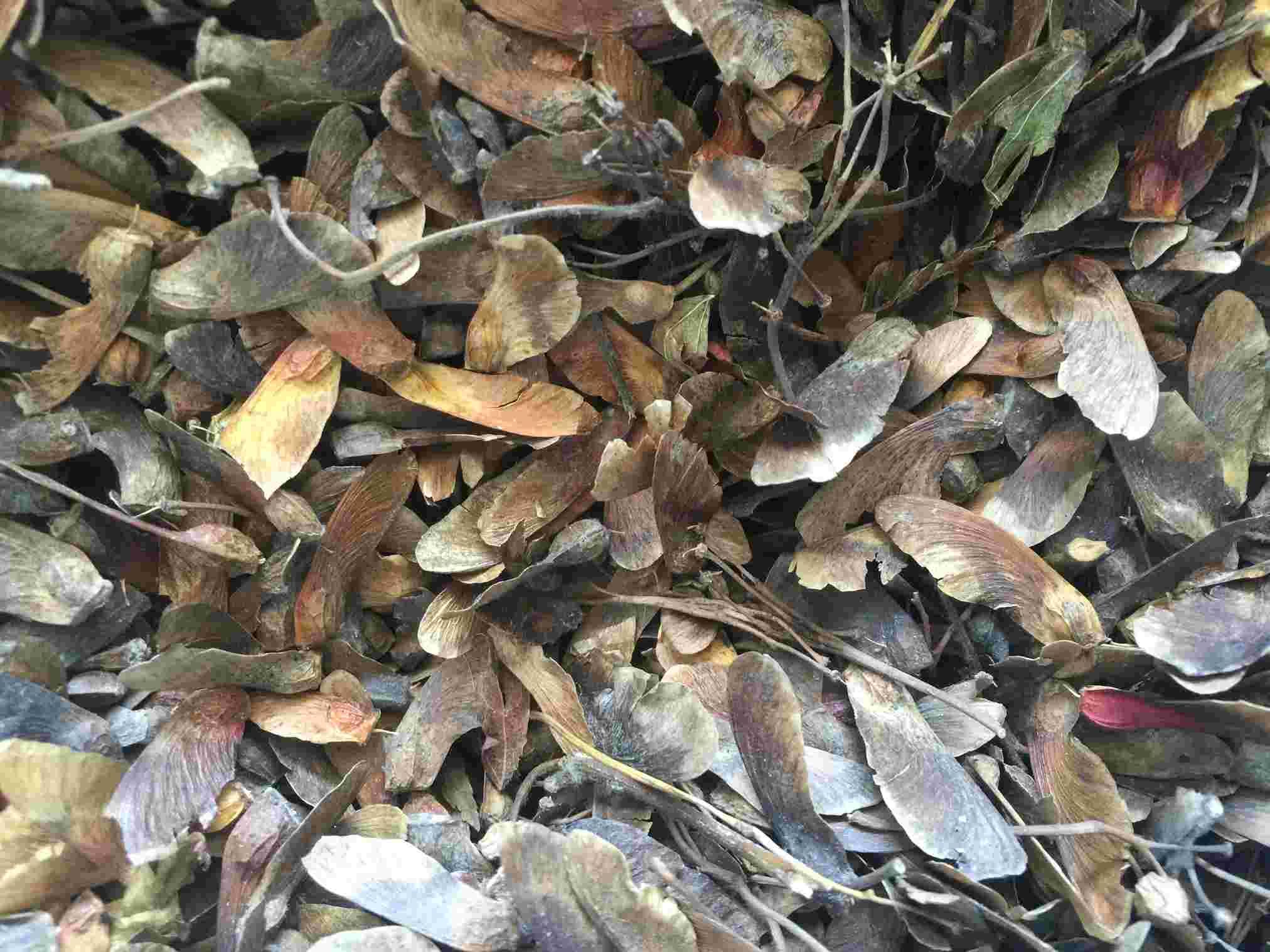 供应 九角枫种子 成熟度高 饱满度好
