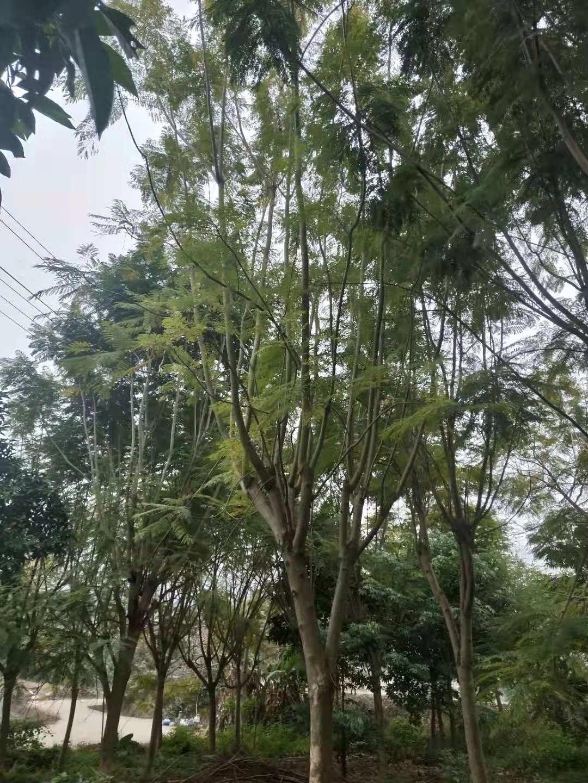 浙江温州出售现挖现售绿化工程苗蓝花楹