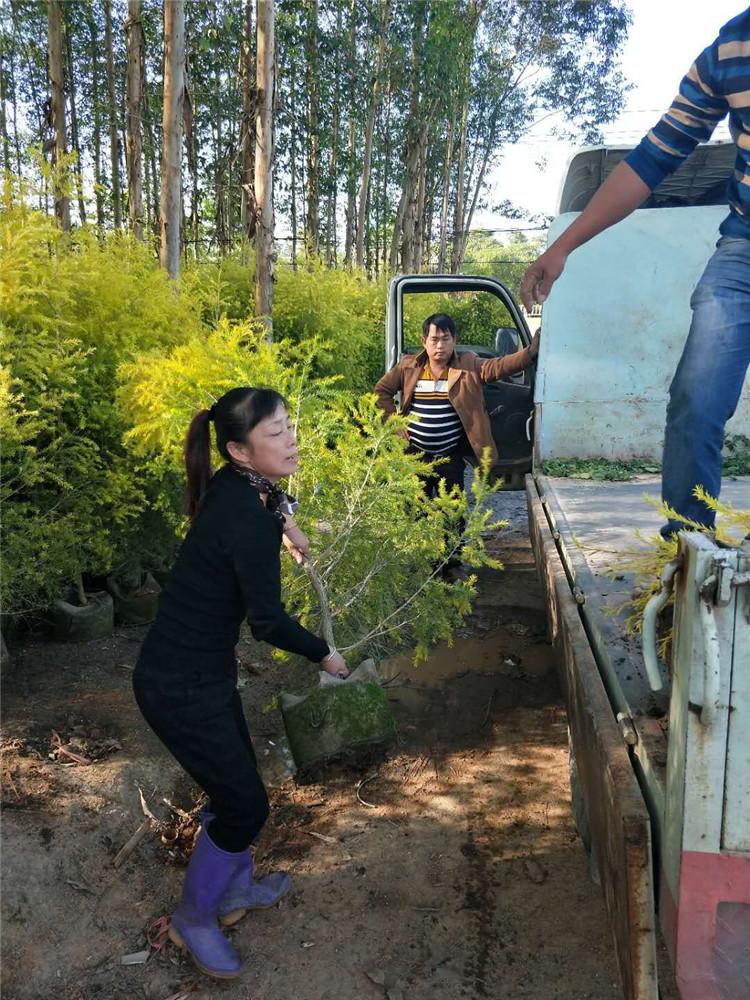 绿化工程苗黄金宝树多少钱一棵