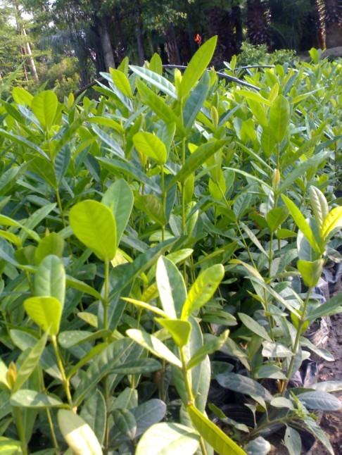 各种优质绿化苗木5公分五彩仙丹苗木价格
