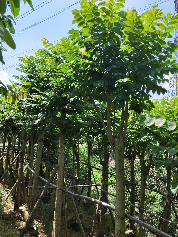江苏大量批发绿化苗木澳洲火焰木
