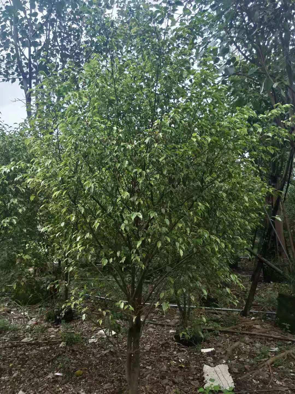 花叶垂叶榕在湖南长沙的价格是150元起