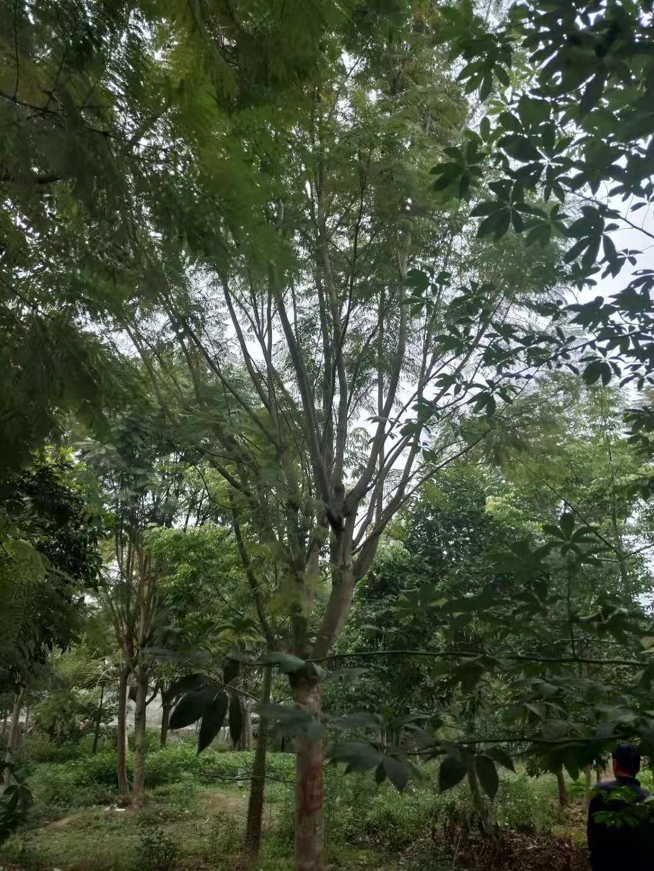 供应蓝花楹树形优美价格合理